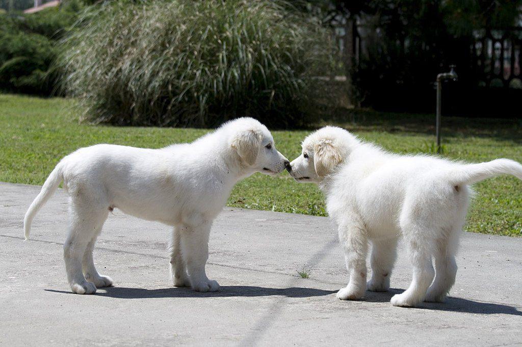 dos cachorros pastores blancos