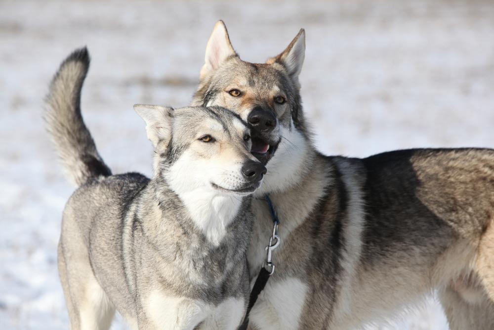 Perro lobo de Saarloos: características, carácter, cachorros